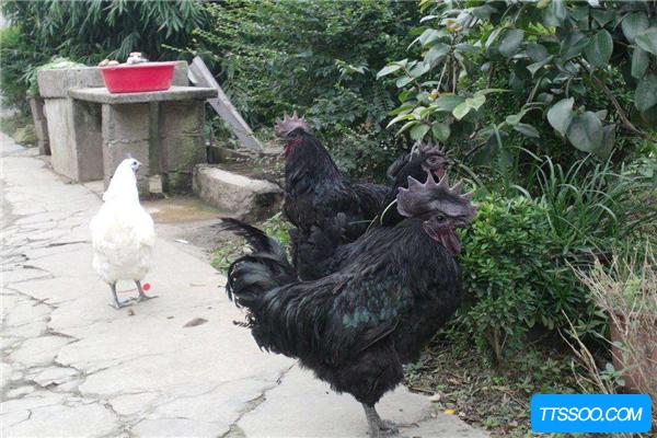 乌鸡的祖先是原鸡,拥有强悍的飞行能力(可飞跃近五米)