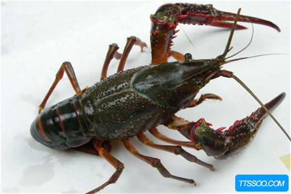 小龙虾的祖先和恐龙同一时代,早在1.4亿年前就已诞生