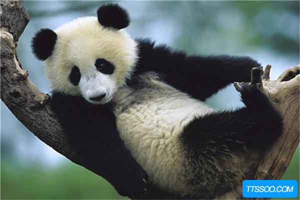 熊猫的祖先竟是强悍的肉食动物,后因生存竞争只能吃素