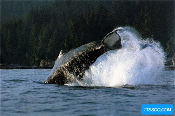 须鲸的祖先是原鲸,它是目前为止最古老的鲸鱼(水陆两栖)