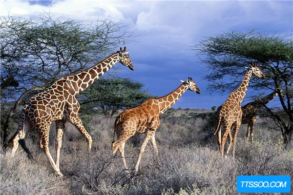 长颈鹿的祖先是什么?脖子和腿都不长(被误认为远古斑马)