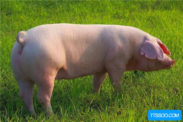 猪的祖先体型庞大,会像老虎一样嚎叫(生活于3千万年前)