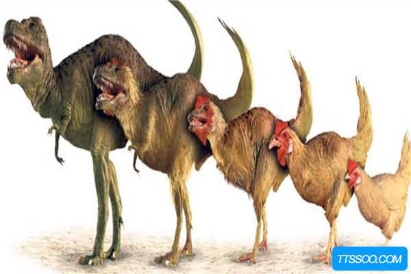 霸王龙演化鸡的图:霸王龙近亲形似放大版鸡(全身是毛)