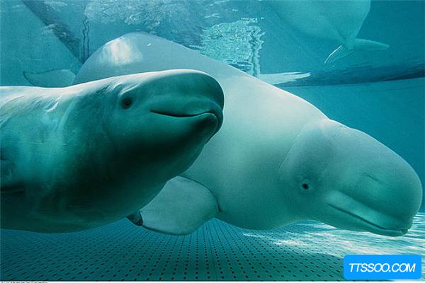 白鲸的祖先是什么?原来是长相像狼的陆地生物(四肢变鳍)