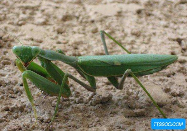 世界上最厉害的螳螂 非洲绿巨螳螂,蛇类都是手下败将