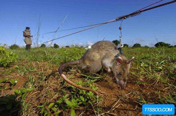 世界上已知最大的鼠类 冈比亚鼠长达91厘米重超4公斤