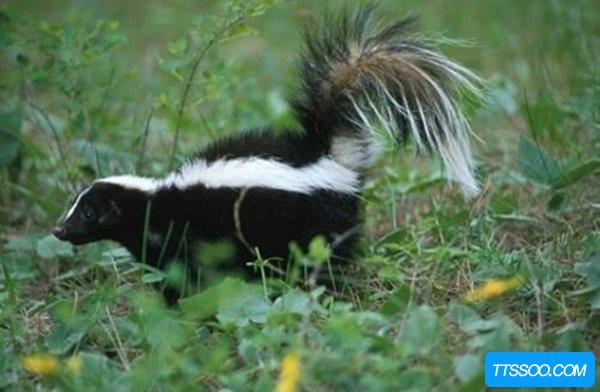 臭鼬的味道有多臭 恐怖的喷射性气体液体(毁灭性打击)