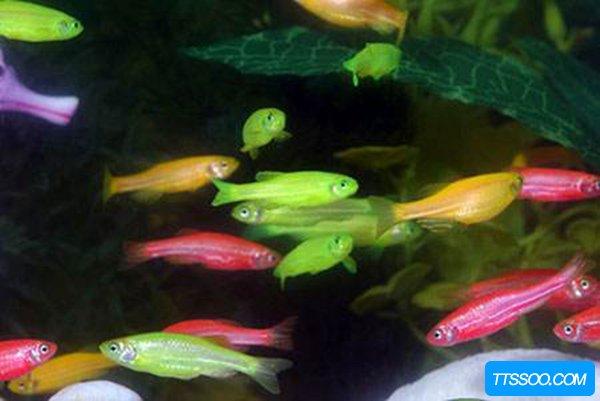 荧光斑马鱼是什么鱼?荧光斑马鱼为什么会发光