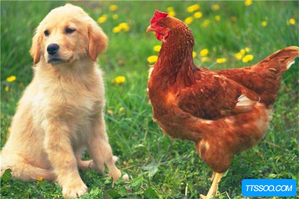 鸡的祖先真的是恐龙吗?恐龙化石中提取蛋白质和鸡相似